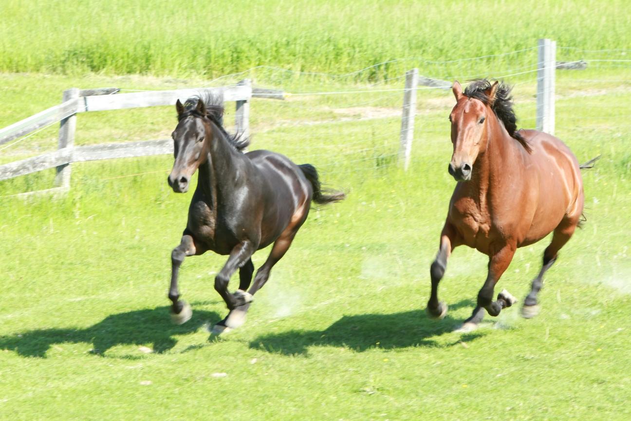 horses-running-in-pasture